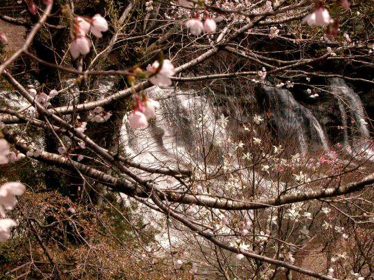 滝とモクレン1