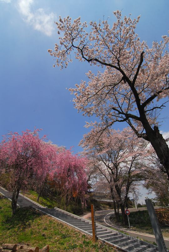 天性寺のしだれ桜