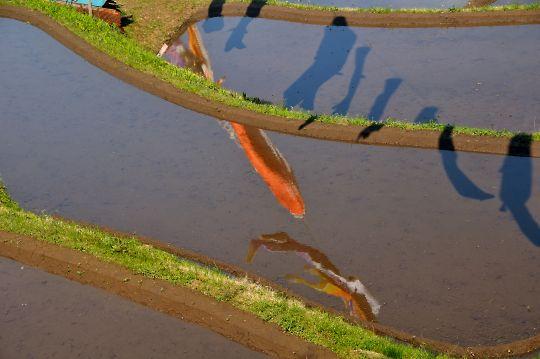 棚田に泳ぐ鯉