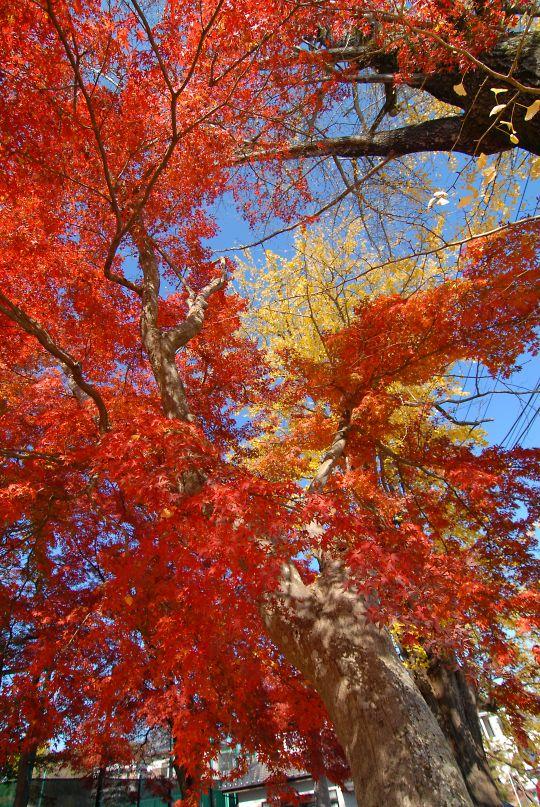 泉渓寺の紅葉