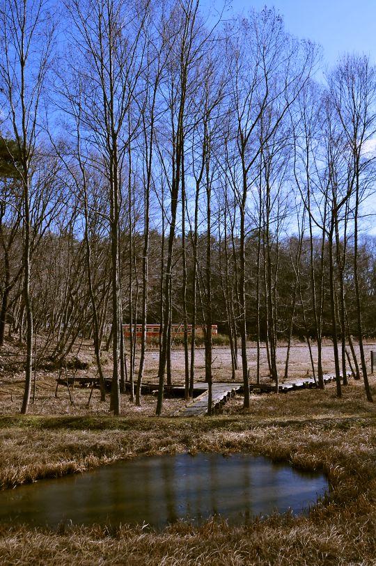 ハンノキ林の冬