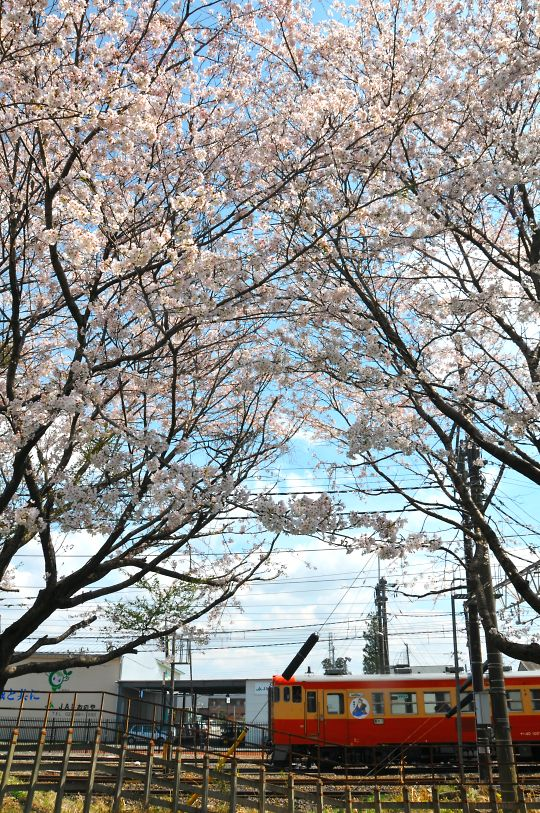 宝積寺駅の桜