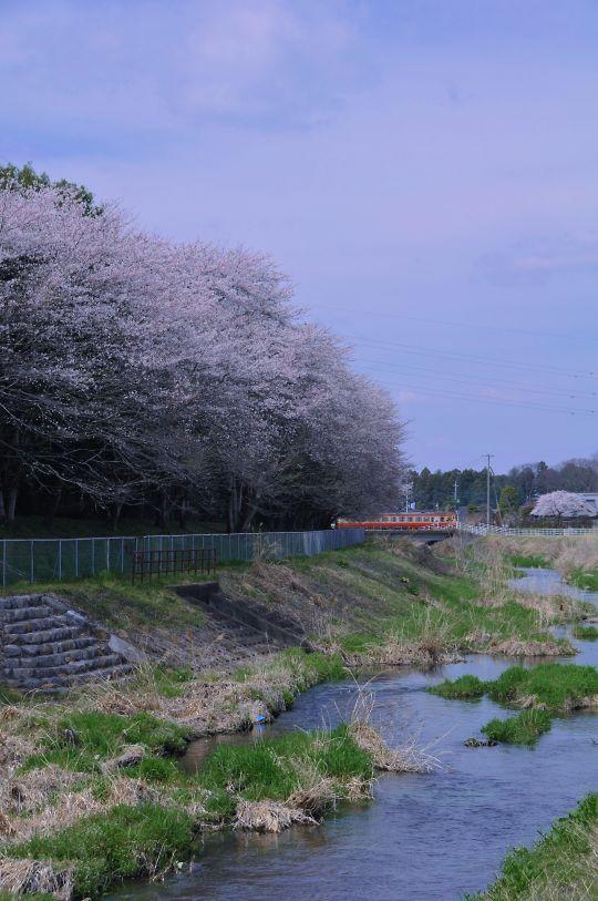 キリンの桜