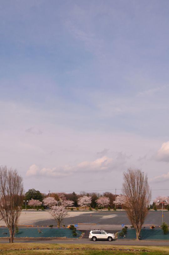 宝積寺のサクラ