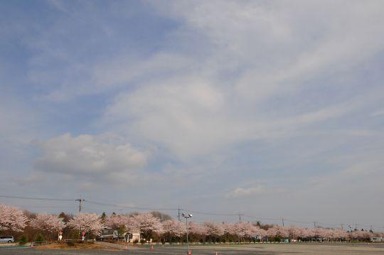 宝積寺駅のサクラ