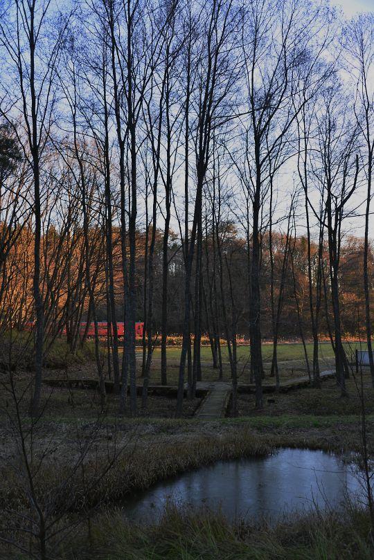 冬のハンノキ林