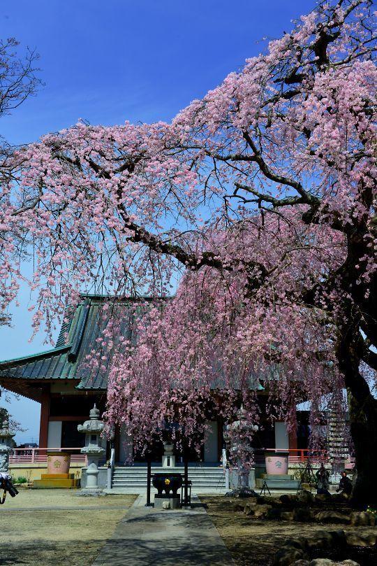 浄蓮寺の桜