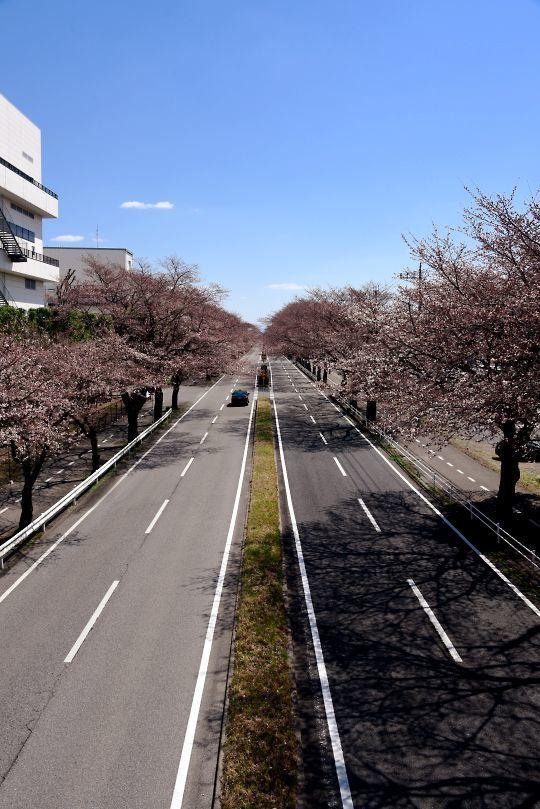 ホンダの桜
