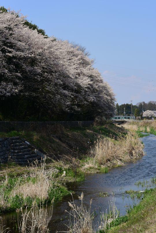 マニーの桜