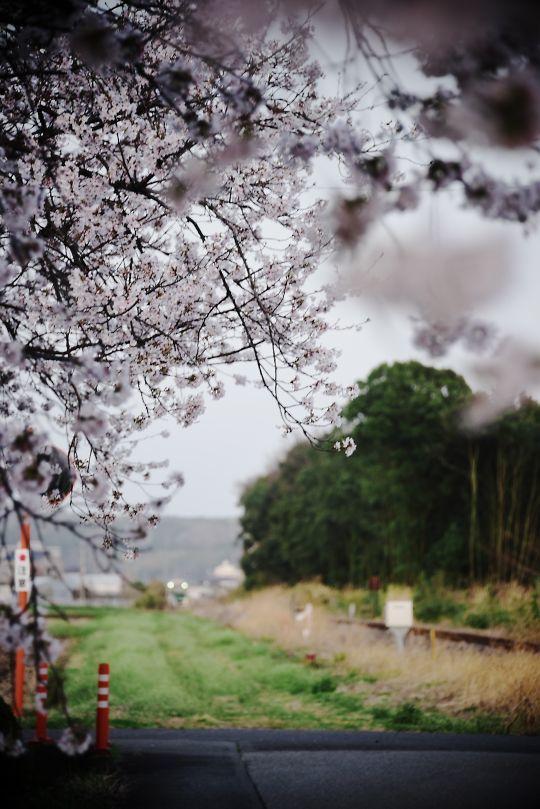 下野花岡駅の桜