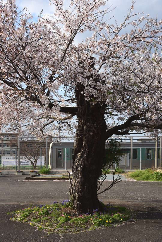 仁井田の桜